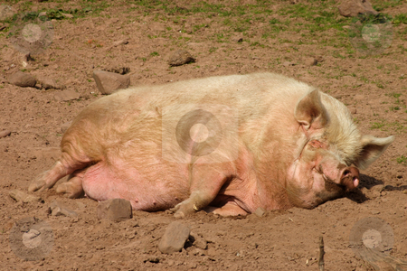 A pig having an afternoon nap. stock photo, A pig having an afternoon nap. by Stephen Rees