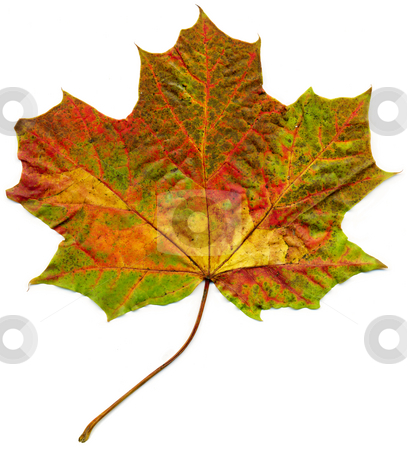 Isolated fall maple leaf. stock photo, Isolated fall maple leaf. by Stephen Rees