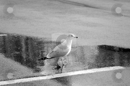 Seagull Black and White stock photo, Seagull Black and White standing in some water by Jesse Ryan