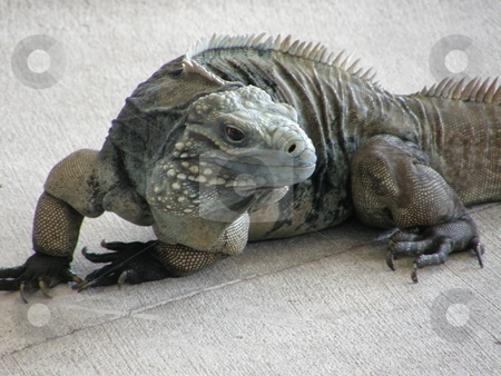 Iguana stock photo, Big Iguana by Ritu Jethani