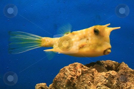 Cow fish stock photo, Closeup of a yellow  cow fish in an aquarium by Jonas Marcos San Luis
