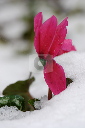 One down  stock photo, A Cyclamen flower in the snow by Gady Cojocaru
