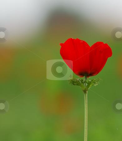 Anemone coronaria stock photo, Blossom of the  Anemone by Gady Cojocaru