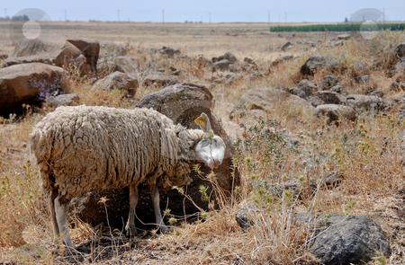 Sheep stock photo,  by Gady Cojocaru