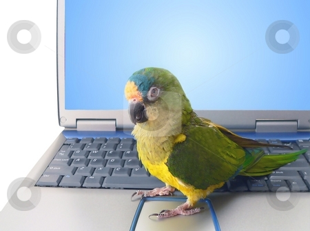 Parrot with laptop stock photo, Pet conure parrot sitting on laptop by Perry Correll