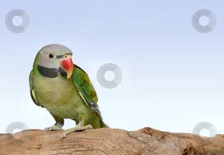 Moustache Parakeet sitting on a branch stock photo, Young moustached parakeet sitting on a branch by Perry Correll
