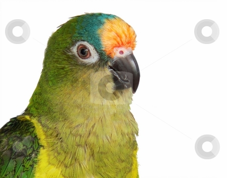 Peachfront Conure stock photo, Isolated portrait of peachfront conure by Perry Correll