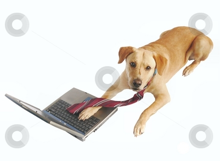 Dog with tie and laptop stock photo, Yellow labrador retriever wearing a tie and sitting at laptop by Perry Correll