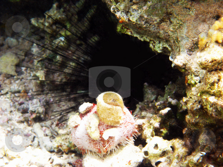 Sea urchins stock photo, Tropical coral reef in Red sea by Roman Vintonyak