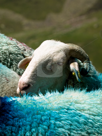 Sheep in mountain stock photo, Sheep in French Pyrenees mountains with dyed wool by Laurent Dambies