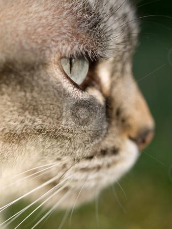 Cat portrait stock photo, Closeup portrait of an adorable young cat by Laurent Dambies