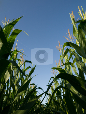 Tall corn crops stock photo, Rows of tall corn crops taken from the ground during summer by Laurent Dambies