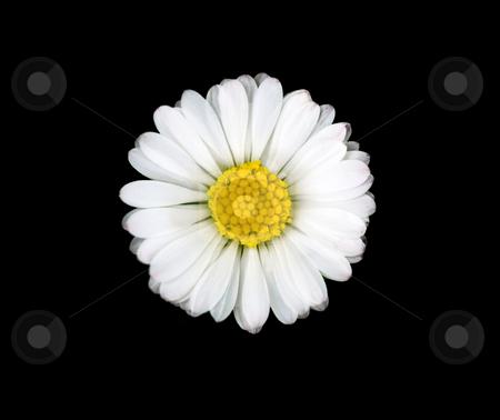 Beautiful daisy flower stock photo, Macro of a beautiful daisy flower isolated on black by Laurent Dambies