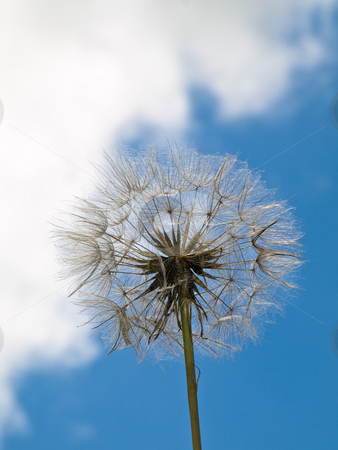 Dandelion stock photo, Dandelion under blue sky at spring by Laurent Dambies