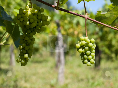 Vineyard grapes in France stock photo, Close up picture of wine grapes in France by Laurent Dambies
