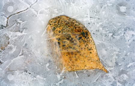 Frozen in Time stock photo, A cottonwood leaf caught in the ice created by the flooding Yakima River. Trapped in time, caught between seasons by Mike Dawson