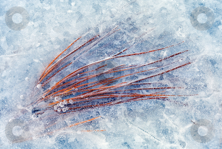 Trapped in Winter stock photo, Pine needles frozen into the ice along the Yakima River by Mike Dawson