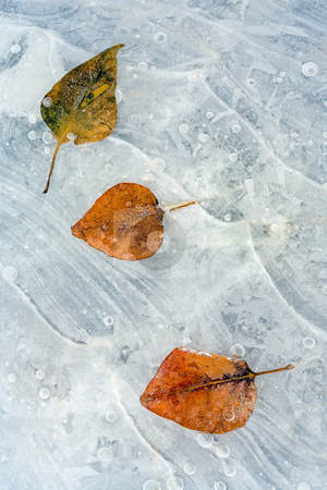 Dare to be Different stock photo, A trio of cottonwood leaves frzone into the ice along the Yakima River. One always has to be different. by Mike Dawson