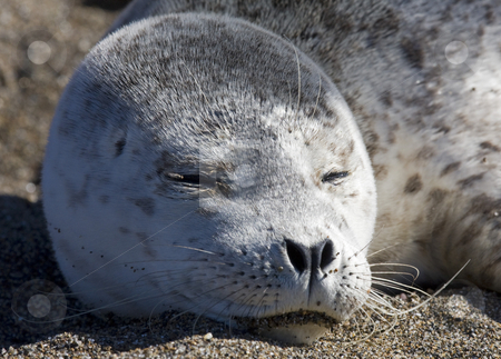 Napping Baby Seal stock photo, A baby harbor seal napping on the beach near Lincoln City, Oregon by Mike Dawson