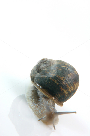 Crawling snail stock photo, Comon garden snail isolated on white background by EVANGELOS THOMAIDIS