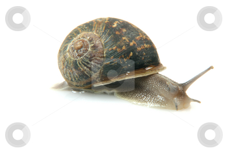 Isolated snail stock photo, Comon garden snail isolated on white background by EVANGELOS THOMAIDIS