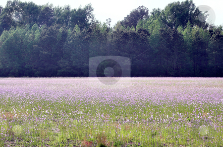 Deptford Pink Flowers stock photo, A large field of Deptford Pink Flowers. by Robert Byron