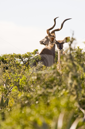 Magnificent Kudu bull and cow stock photo, Magnificent Kudu bull with curling horns, standing between some bushes. by Nicolaas Traut