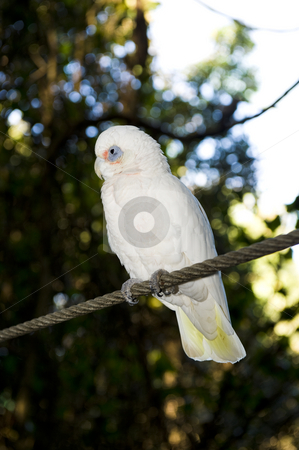 Bare eyed Cockatoo or Little Corellas stock photo, A beautiful Bare eyed Cockatoo also called Little Corella in a wildlife sanctuary. by Nicolaas Traut