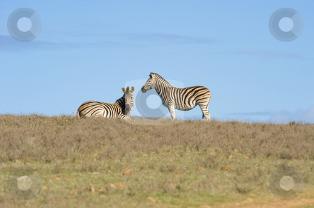 Zebra on a reserve stock photo, Healthy zebras standing and lying on the horizon in a wildlife reserve. by Nicolaas Traut