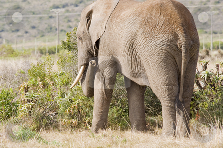 Elephant grazing in the wild stock photo, A lone elephant grazing on some juicy plants. by Nicolaas Traut