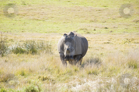 Healthy rhino stock photo, A healthy lone rhino in a game reserve, grazing. by Nicolaas Traut