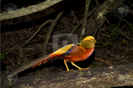 Golden Pheasant stock photo, Beautiful colorful Golden Pheasant in a wildlife sanctuary. by Nicolaas Traut