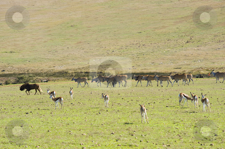 Herds of wildlife stock photo, Herds of Eland and Springbok grazing, with a Wildebeest on the left. by Nicolaas Traut