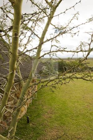 Thorn tree stock photo, A thorn tree growing on a wildlife reserve. by Nicolaas Traut