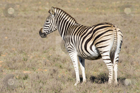 Zebra on a reserve stock photo, Healthy zebra in a wildlife reserve. by Nicolaas Traut