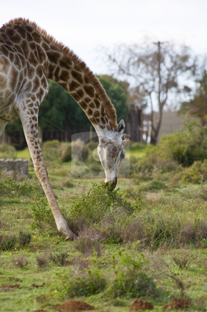 Giraffe grazing stock photo, A giraffe grazing by bending down to reach some low bushes. by Nicolaas Traut