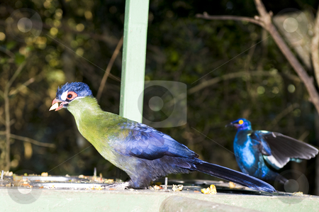 Hartlaubs Turaco stock photo, Hartlaub's Turaco - Turaco hartlaubi feeding. by Nicolaas Traut