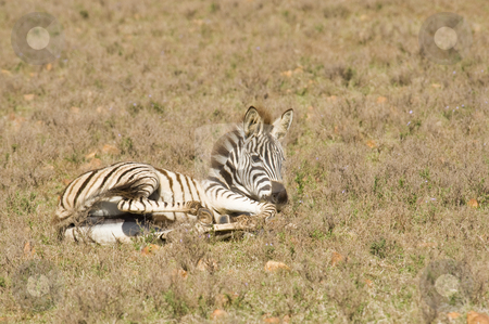 Zebra on a reserve stock photo, Healthy young zebra lying on the grass in a wildlife reserve. by Nicolaas Traut