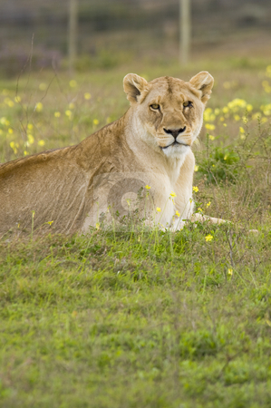 Lioness stock photo, A lone lioness resting on the grass, looking at the camera. by Nicolaas Traut