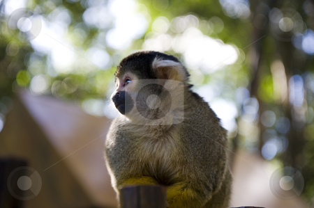 Squirrel monkey stock photo, Adorable squirrel monkey sitting on a fence in a wildlife sanctuary. by Nicolaas Traut