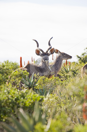 Magnificent Kudu bull and cow stock photo, Magnificent Kudu bull with curling horns, standing between some bushes. His cow is adjacent to him. by Nicolaas Traut