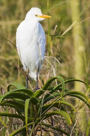 Cattle Egret stock photo, Cattle Egret in a sanctuary by Nicolaas Traut
