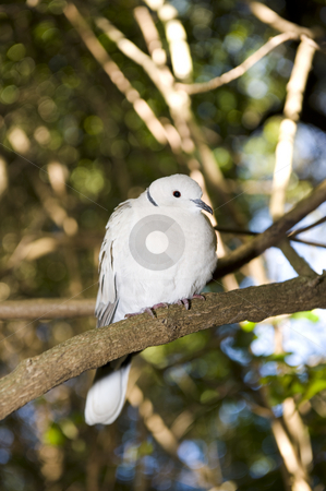 Red eyed Turtle dove or Half collared dove stock photo, A beautiful Red eyed Turtle dove in a wildlife sanctuary. by Nicolaas Traut