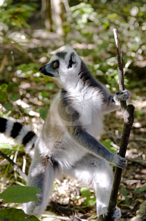 Ringtail Lemur stock photo, A Ringtail Lemur standing on his hind legs holding on to a stick. by Nicolaas Traut