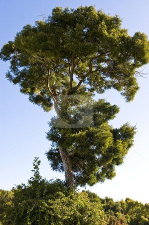 Stone pine agains a blue sky stock photo, Stone pine tree showing a vivid outline against a lovely blue sky. by Nicolaas Traut