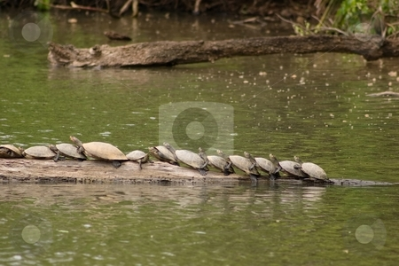 Amazon Turtles stock photo, Several side-necked turtles (Podocnemis sp.) on log in Lake Sandoval, Peru by Mariusz Jurgielewicz