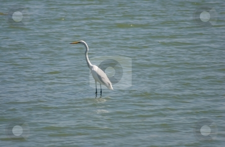 Great Egret stock photo, The Great Egret Ardea alba, also known as the Great White Egret, or Common Egret, is a wading egret, found in most of the tropical and warmer temperate parts of the world by Mariusz Jurgielewicz