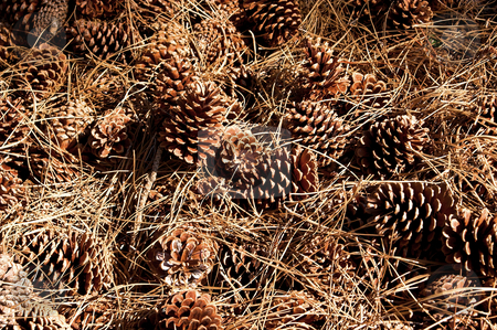 Pine Cones stock photo, A big pile of pine cones from a pine tree. by Robert Byron