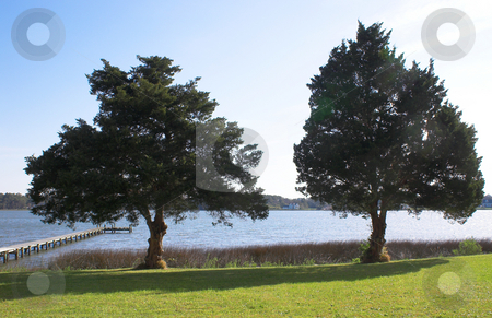 Spruce Trees stock photo, Spruce trees in a yard at the coast. by Robert Byron