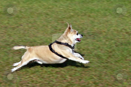 Run Pepe Run stock photo, Dog, Pepe, running across the grass, full stretch. by Lucy Clark